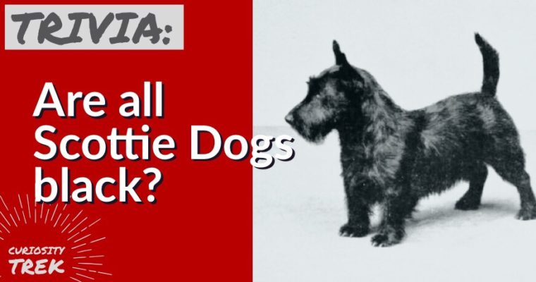 Are all Scottie Dogs black?