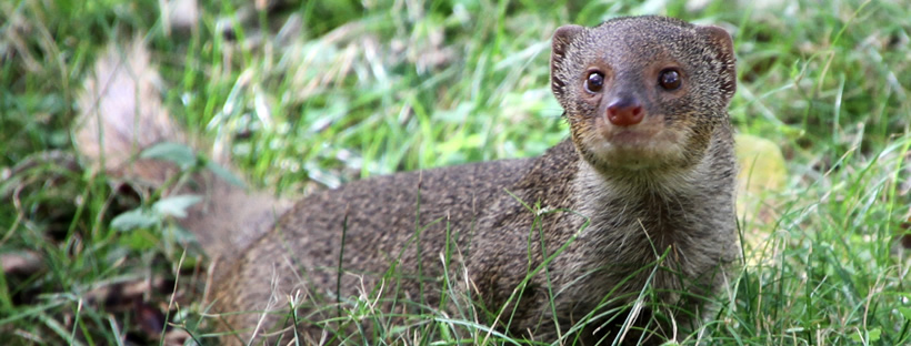 Yes that is a Mongoose - Curiosity Trek - Hawaii