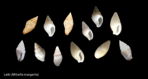 Laiki (Mitrella margarita) Tiny white rice-like shells. - Niihau Shell Jewelry – Hawaii – Curiosity Trek