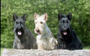 Moola and Fluffy, black and wheaten Scottie Dogs