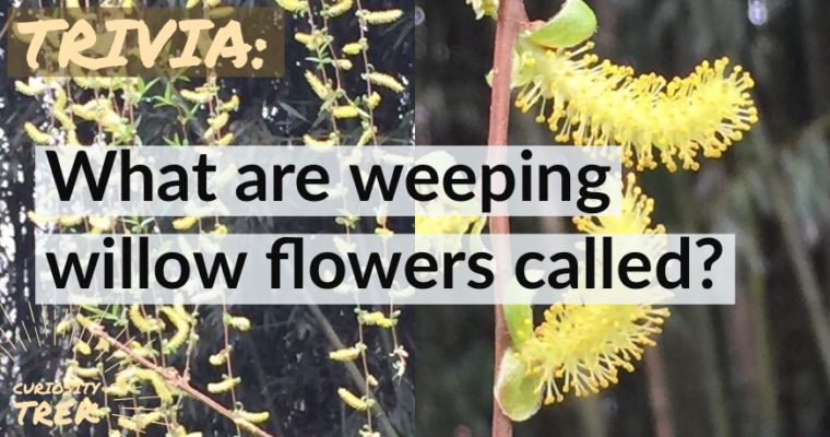 What are weeping willow flowers called?