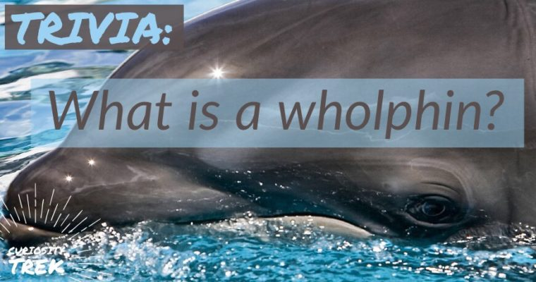 What is a wholphin?